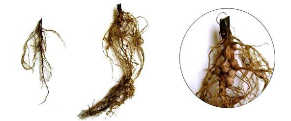 Ризоторфин основа урожая